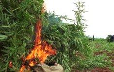 Descubren el mayor cultivo de marihuana hallado nunca en Turquía