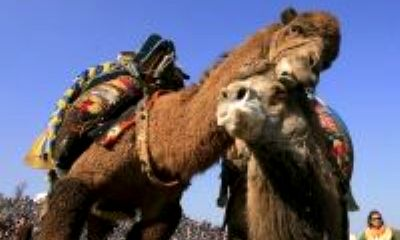 Camellos frente a toros