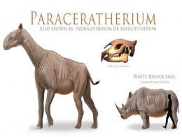 Fosil paraceratherium