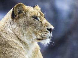 Estambul felino leona zoo