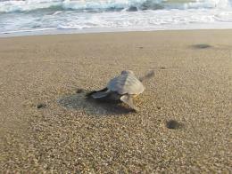 Antalya playa tortuga bebe mar