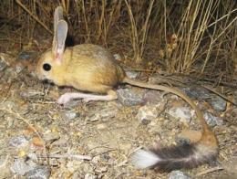 Naturaleza rata canguro