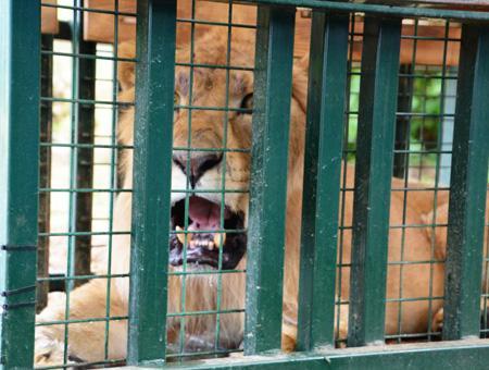 Siria leon zoo