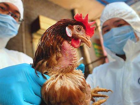 Animales gallina gripe aviar