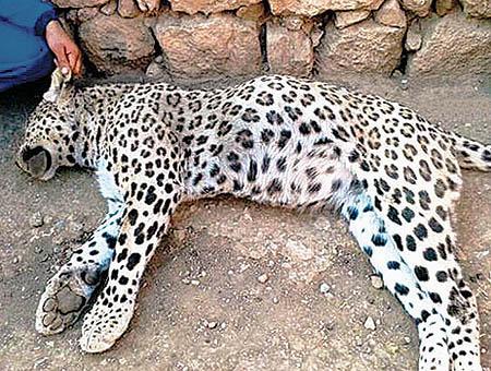 Leopardo anatolia