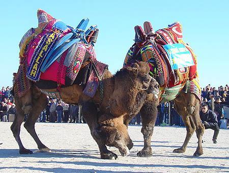 Camellos lucha cc