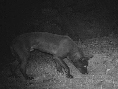 Lobo negro foto