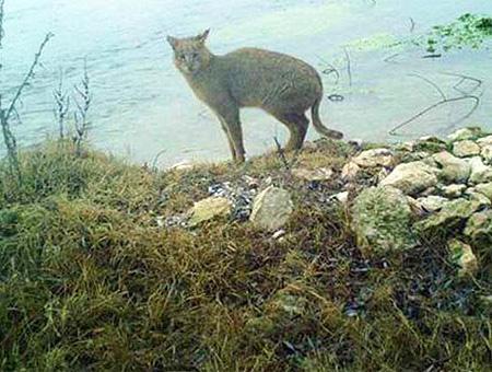 Gato pantanos felis chaus
