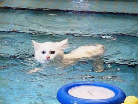 Van gato nadando