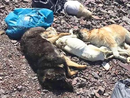 Ankara perros muertos descampado