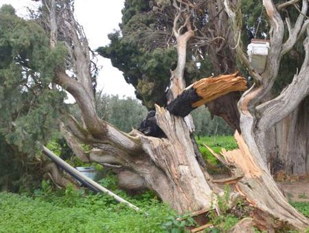 Bursa arbol centenario destrozado