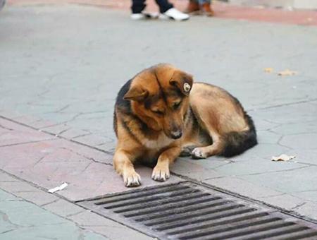 Turquia perro mirando alcantarilla
