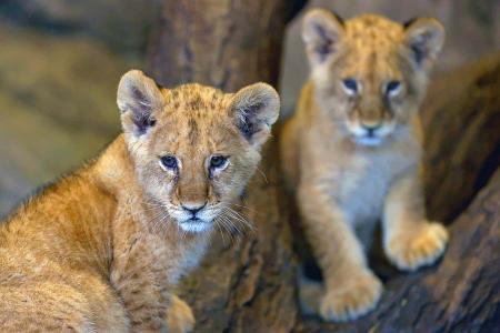 Estambul cachorros leon zoo